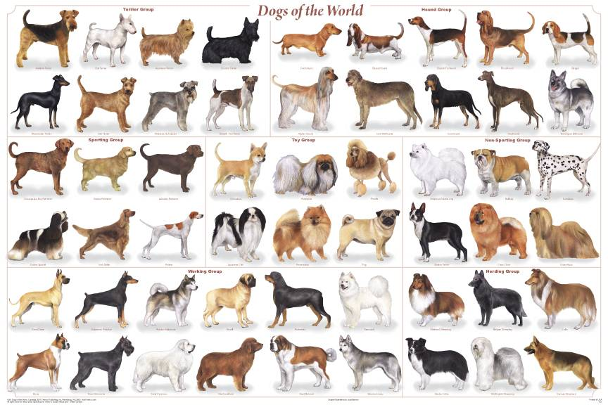 A chart of many breeds to be considered for a kid who wants a dog.