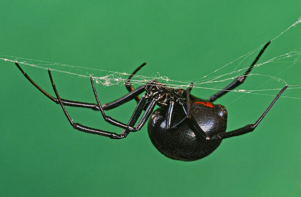 close-up of black widow