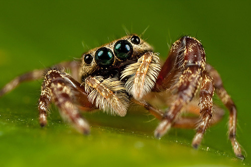 close-up of a cute jumping spider