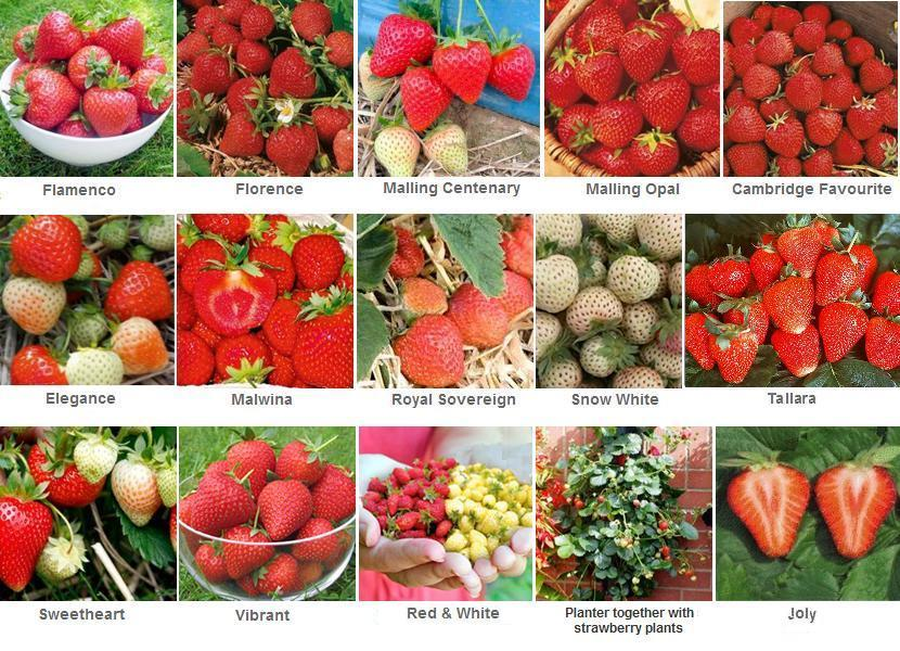 many strawberry varieties for Michi's garden