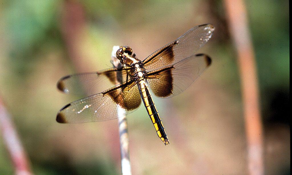 dragonfly photo to accompany haiku